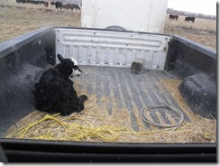 Calving 219