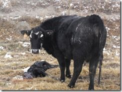 Calving 417